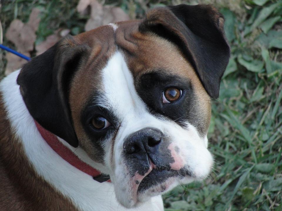 boxer-1339305_960_720